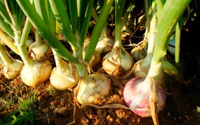 Everything You Need To Know About Onions